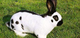 Descrierea și caracteristicile iepurilor de miros, reguli de reproducere