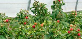 Cómo cuidar adecuadamente las frambuesas remontantes para una buena cosecha