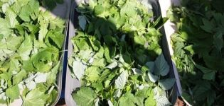Cuándo recolectar y cómo secar adecuadamente las hojas de grosella para el invierno para el té.