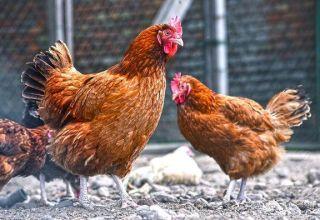A Kuchinsky Jubileum csirkék fajtájának leírása, tenyésztés és tojástermelés