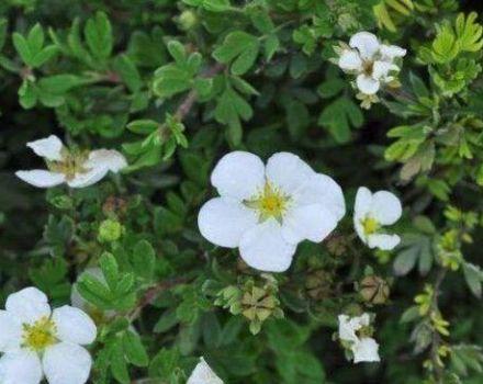 A Abbotswood cserje Potentilla jellemzői és leírása, ültetés és gondozás