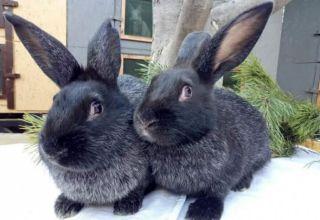 Descripción y características de los conejos de la raza plateada Poltava, cuídalos.