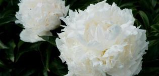 A Solange bazsarózsa fajta leírása és jellemzői, a termesztés és a szaporodás finomságai