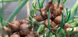 Plantarea, creșterea și îngrijirea cepei cu mai multe niveluri