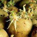 Hogyan lehet a burgonyát gyorsabban kihajtani az ültetés előtt