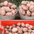 Descrierea soiului de cartofi Rocco, recomandări pentru creștere și îngrijire