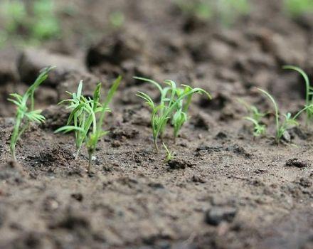 Cómo y cuándo plantar eneldo antes del invierno, para que sea grande.