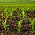 Mik a herbicidek a kukorica feldolgozásához, azok típusai és alkalmazásai