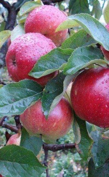 Antey-omenapuun kuvaus ja ominaisuudet, istutus- ja hoitosäännöt