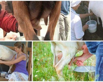 ¿Cuántas veces al día se debe ordeñar una cabra después del parto y las reglas para realizar el procedimiento?