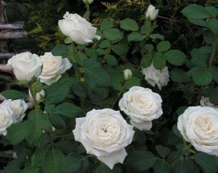 A hibrid tea rózsafajták leírása és szabályai Anastasia