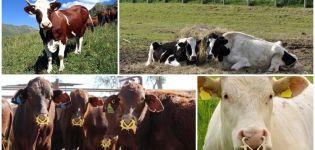 Az egyszerű és gyönyörű tehén becenevek, népszerű és szokatlan nevek listája