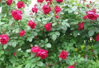 Descripción de las mejores variedades de rosas canadienses, plantación y cuidado en campo abierto.