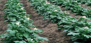Minerale meststoffen, superfosfaten en folkremedies voor bladvoeding van aardappelen
