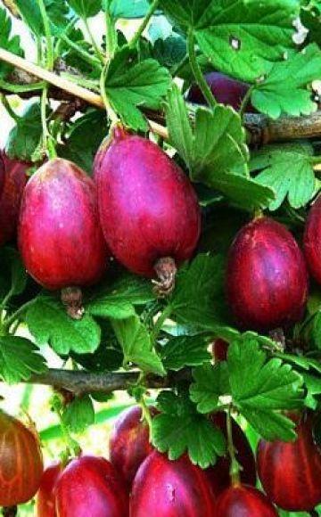 Descripción y características de la variedad de grosella espinosa North Captain, plantación y cuidado.