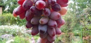 Descrierea strugurilor Zarevo, regulile de plantare și cultivare