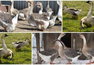 Descripción y características de los gansos de la raza Kuban, su cría y cuidado.