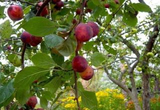 Descrierea și caracteristicile soiului Etude de prune, polenizatori și cultivare