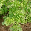Oka annak, hogy a burgonya rosszul nő a kertben, és mit kell tenni