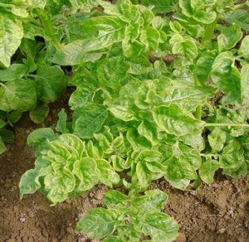 Dôvody, prečo zemiaky rastú na záhrade zle a čo majú robiť