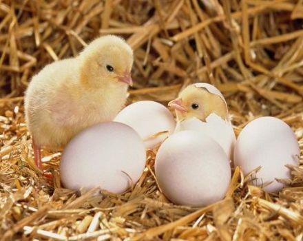 Cum să crești un pui dintr-un ou acasă, când este mai bine să eclozi și regulile de îngrijire