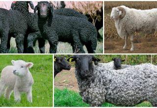 Opis i karakteristike karakulskih ovaca, pravila uzgoja