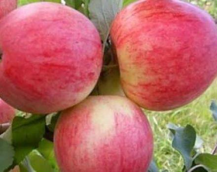 Az Orlovim almafajta leírása és jellemzői, ültetés, termesztés és gondozás