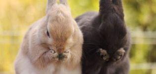Ce trebuie să faceți dacă iepurele dvs. nu mănâncă și nu bea și cum să evitați problemele comune