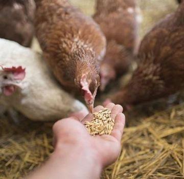 Quelles vitamines sont nécessaires pour les poulets et la posologie, les noms des médicaments et des aliments sains