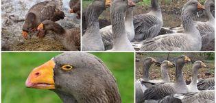 A tulai harci fajta libáinak leírása, jellemzőik és tenyésztésük