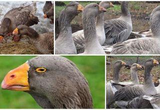 Beschrijving van ganzen van het Tula-vechtras, hun kenmerken en fokkerij