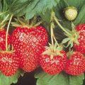 Cum și când este mai bine să plantezi căpșuni în pământ deschis, pregătirea grădinii