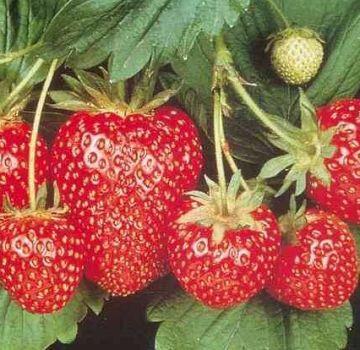 Wie und wann ist es besser, Erdbeeren auf offenem Boden zu pflanzen, um den Garten vorzubereiten