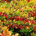 Plantación y cuidado de arbustos de agracejo en campo abierto, reproducción y cultivo.