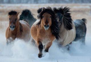 Características de la raza, cuidado, mantenimiento y cría de caballos Yakut