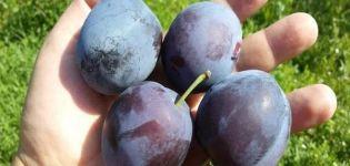 A Smolinka szilvafajta leírása, ültetés és gondozás, öntözés és fametszés