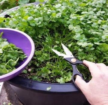 Cómo cultivar cilantro en invierno en el alféizar de una ventana a partir de semillas en casa
