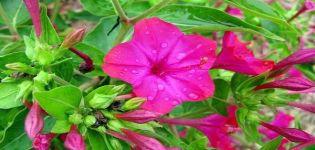 Mirabilis ültetése és gondozása nyílt terepen, 20 legjobb fajta és termesztés