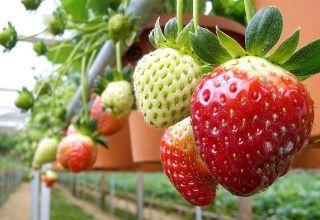 Installation von Hydrokultur für den Anbau von Erdbeeren, wie man Geräte mit eigenen Händen herstellt