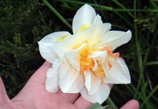 A Replit nárcisz leírása és jellemzői, termesztése és gondozása