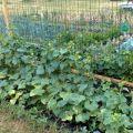 Cele mai bune soiuri de castraveți pentru pământ deschis pe banda de mijloc și calendarul plantării lor