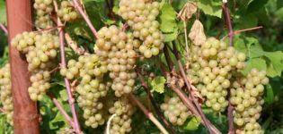 Descripción e historia de las uvas Platovsky, cultivo, reglas para cosechar y almacenar cultivos.