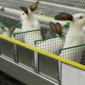 ¿Es rentable o no un negocio de cría de conejos, pros y contras y cómo organizarlo?