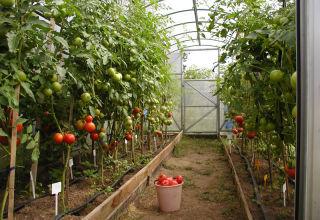 Care sunt cele mai bune soiuri de roșii, productive și rezistente la boli pentru o seră