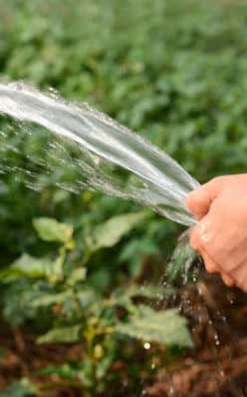 Wie oft und richtig den Kürbis auf freiem Feld gießen und ist es notwendig?