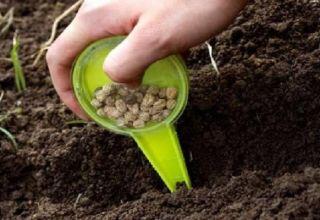 Cómo y cuándo sembrar, cultivar y cuidar el cilantro antes del invierno.
