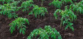 Pravidlá poľnohospodárskej technológie pre pestovanie paradajok na otvorenom priestranstve a v skleníku