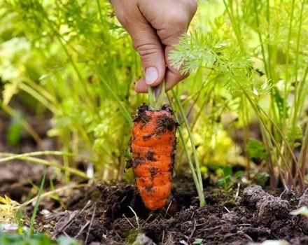 Milyen gyakran kell sárgarépát öntözni a szabadban, és hogyan kell ezt helyesen elvégezni
