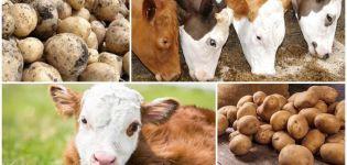 Bez obzira daje li krava sirovom krumpiru ili ne, koristi i štete i kako se nahraniti