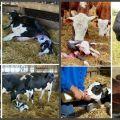 Hogyan tápláljon egy tehénnek az ellés után otthon, diétát készítve?